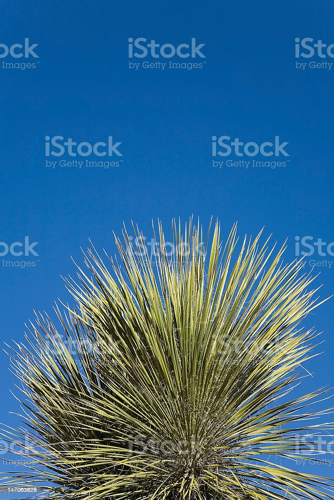 Top Portion of a Joshua Tree Plant royalty-free stock photo