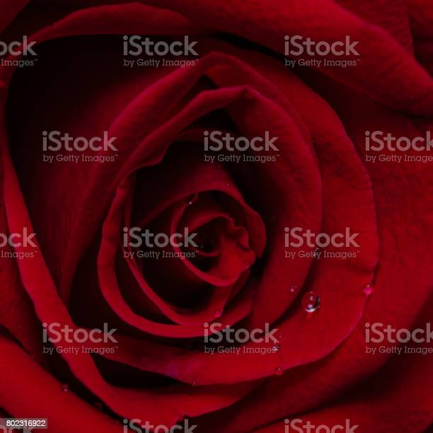 Top view and close up image on bright red rose and water drops for picture id802316922?b=1&k=6&m=802316922&s=612x612&h=yqmloayhmgahaqdaa7f6ga4jr7qnep7oocurmdjh6ri=