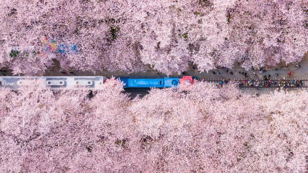 Vista superior en jinhae flor de cerezo, Ciudad de Busan, Corea del Sur - foto de stock