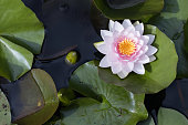 European plants outside: top view / birds eyes view of a pink blooming water lily (Nymphaea) in a pond