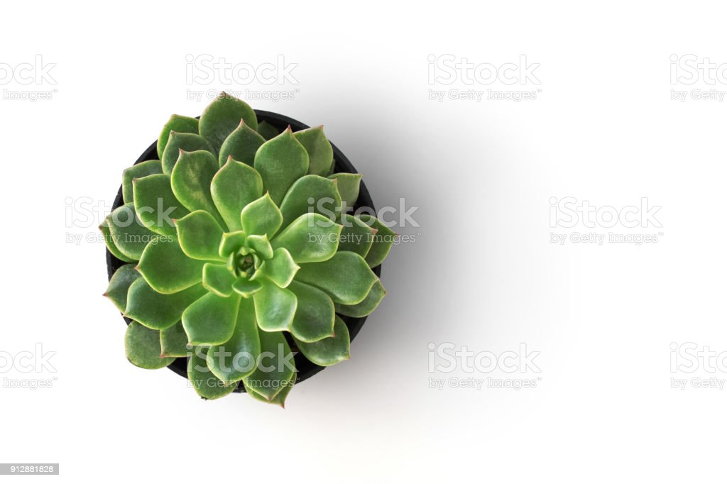 top view cactus plant in pot isolate on white background royalty-free stock photo