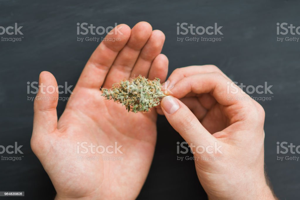 Top view close-up buds hemp in the hands close-up.the legalization of marijuana royalty-free stock photo