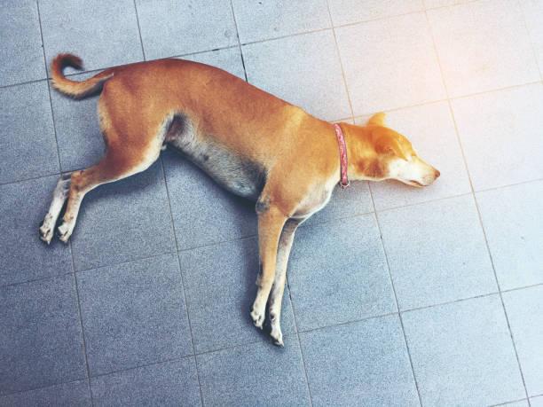 bovenaanzicht afbeelding van thaise bruine hond hond slapen op de vloer van cement. - dog looking at floor path stockfoto's en -beelden