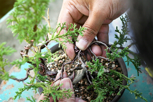 Top View Juniper Bonsai Art Tree On Stand Making Of Bonsai Trees Handmade Accessories Wire And Scissor Bonsai Tools Concept Bonsai Tree Stock Photo Download Image Now Istock
