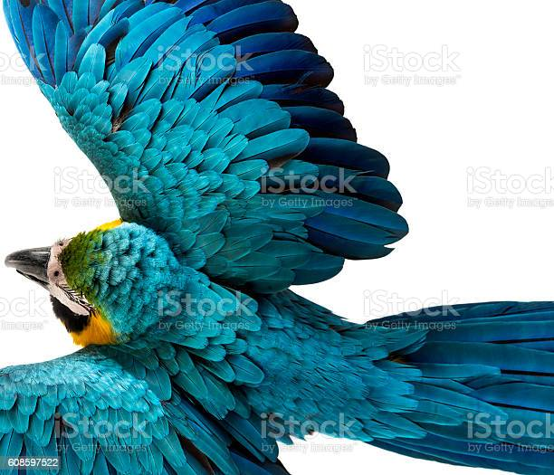 Top view of a blueandyellow macaw flying isolated on white picture id608597522?b=1&k=6&m=608597522&s=612x612&h=swvgkxiwynxzz5eu4gb5gklesg c7ooibjfc5 docyk=