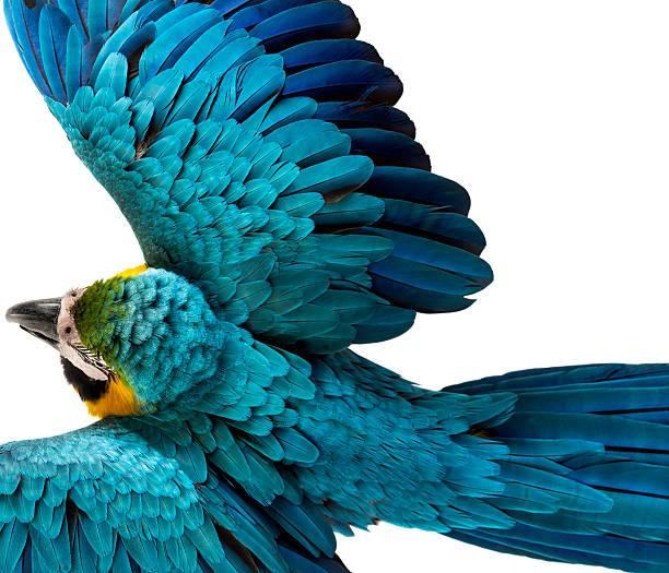 Top view of a Blue-and-yellow Macaw flying isolated on white stock photo