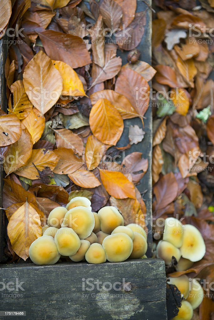 Top view of a cluster mountain brown mushrooms, Turkey royalty-free stock photo