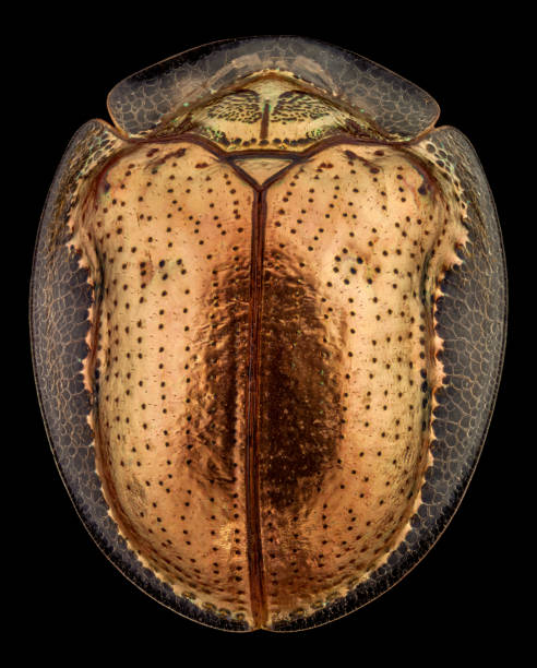 Top view of a golden tortoise beetle Top view of a golden tortoise beetle.The golden tortoise beetle is a species of beetle in the leaf beetle family, native to the Americas dorsal surface stock pictures, royalty-free photos & images