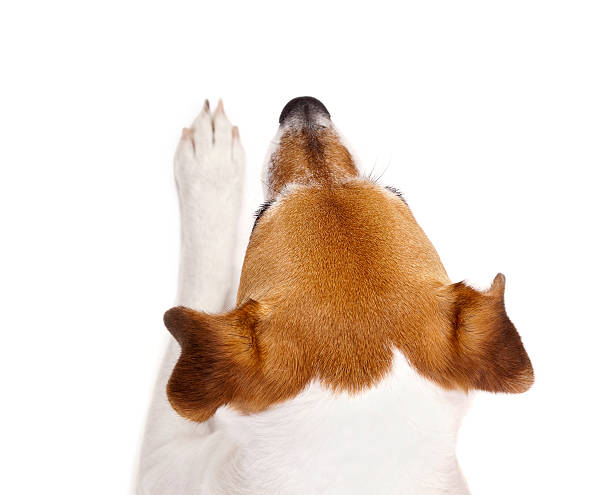 Top View of a Jack Russell Terrier Head and Paw stock photo