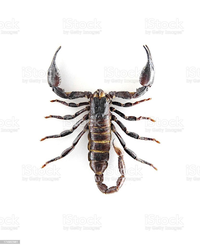 top view of a scorpion stock photo