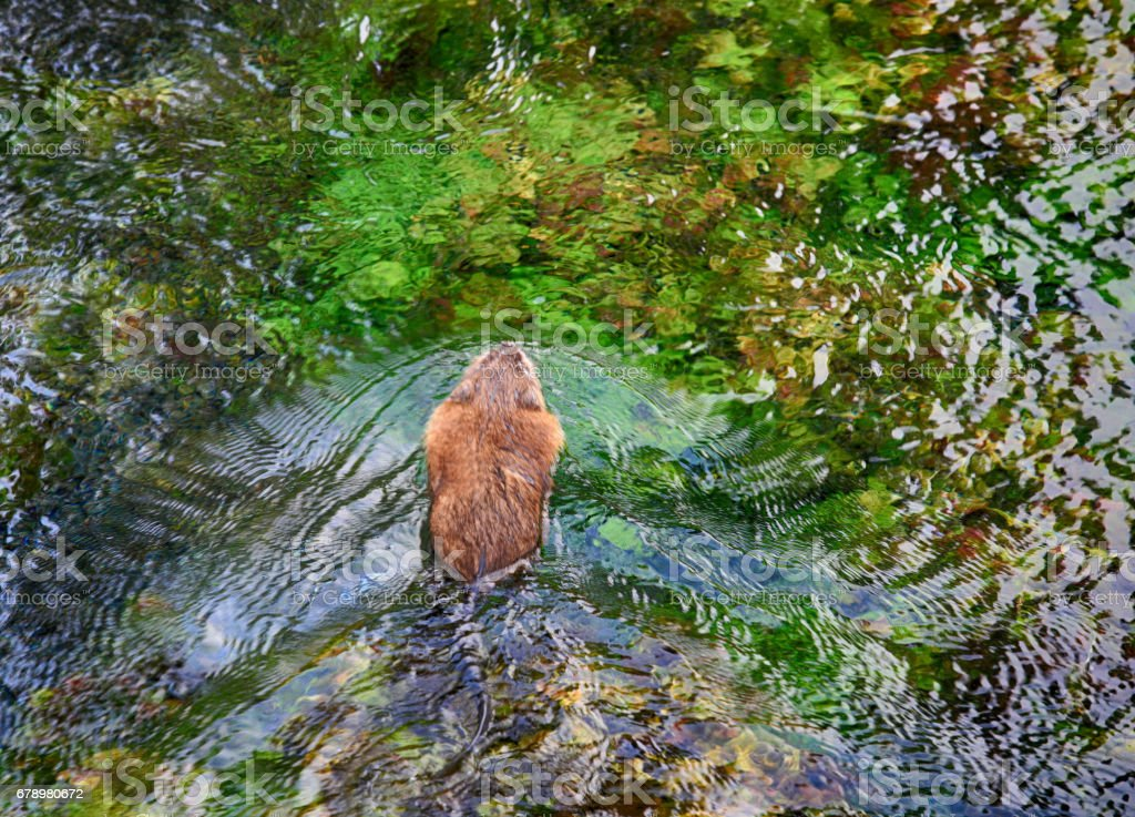Top view of a swimming beaver, Big Springs, Island Park, Idaho, USA stock photo