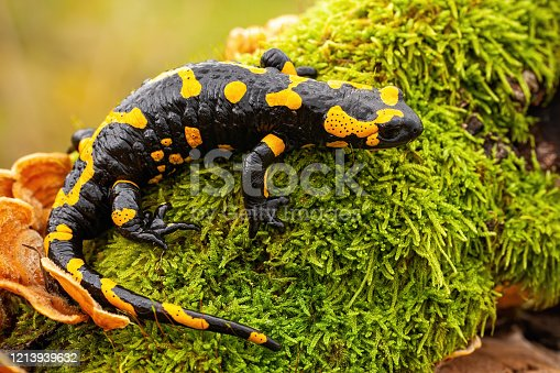 Top view of a whole fire salamander, salamandra salamandra, on wet moss and fungus in forest. Wild species of vertebrate with yellow spots and stripes on a black body.