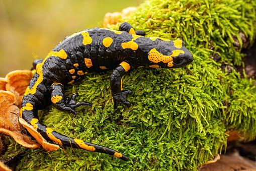 hewan amfibi salamander