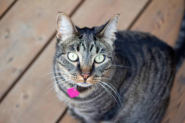 Top view of a young gray stripe tabby cat on a wooden deck looking up picture id1288038178?b=1&k=6&m=1288038178&s=612x612&w=0&h=ojlkw 9yqhvmecvbjcd3vgeqckfanugffqfqi4kw8mc=