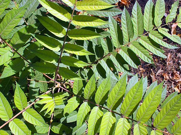 Ansicht von oben einer jungen Pflanze Baum Ailanthus altissima – Foto