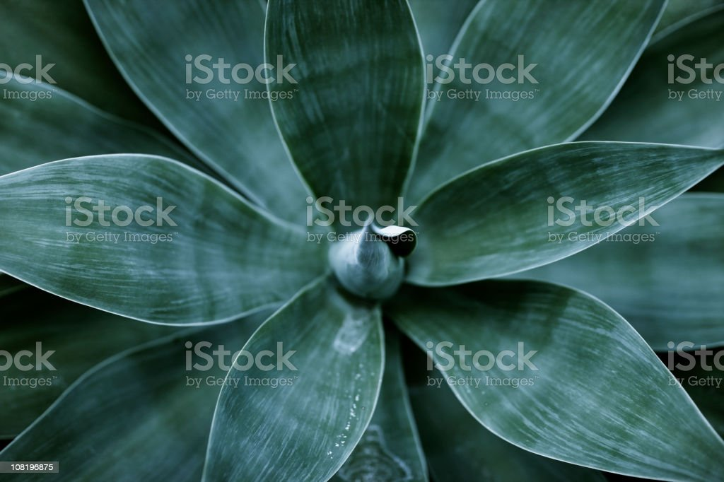 Top view of agave plant leaves stock photo