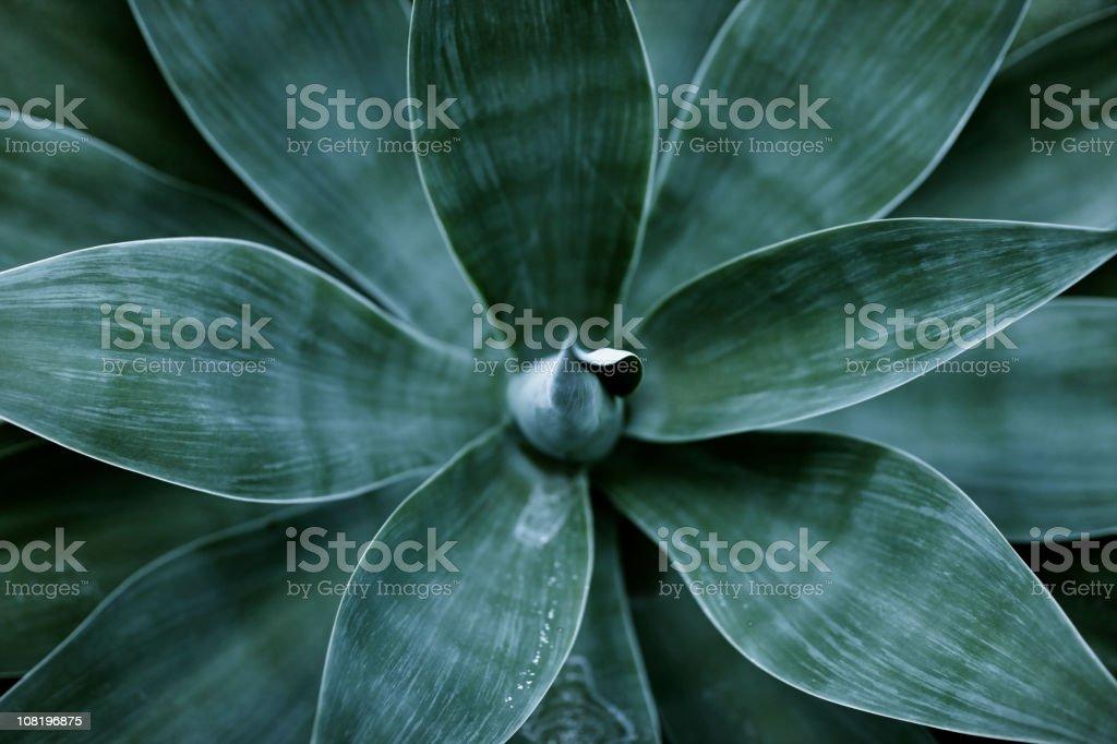 Agawy liści – zdjęcie