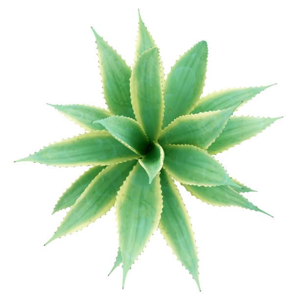 vue de dessus de la plante aloe isolé sur fond blanc. illustration 3D - Photo
