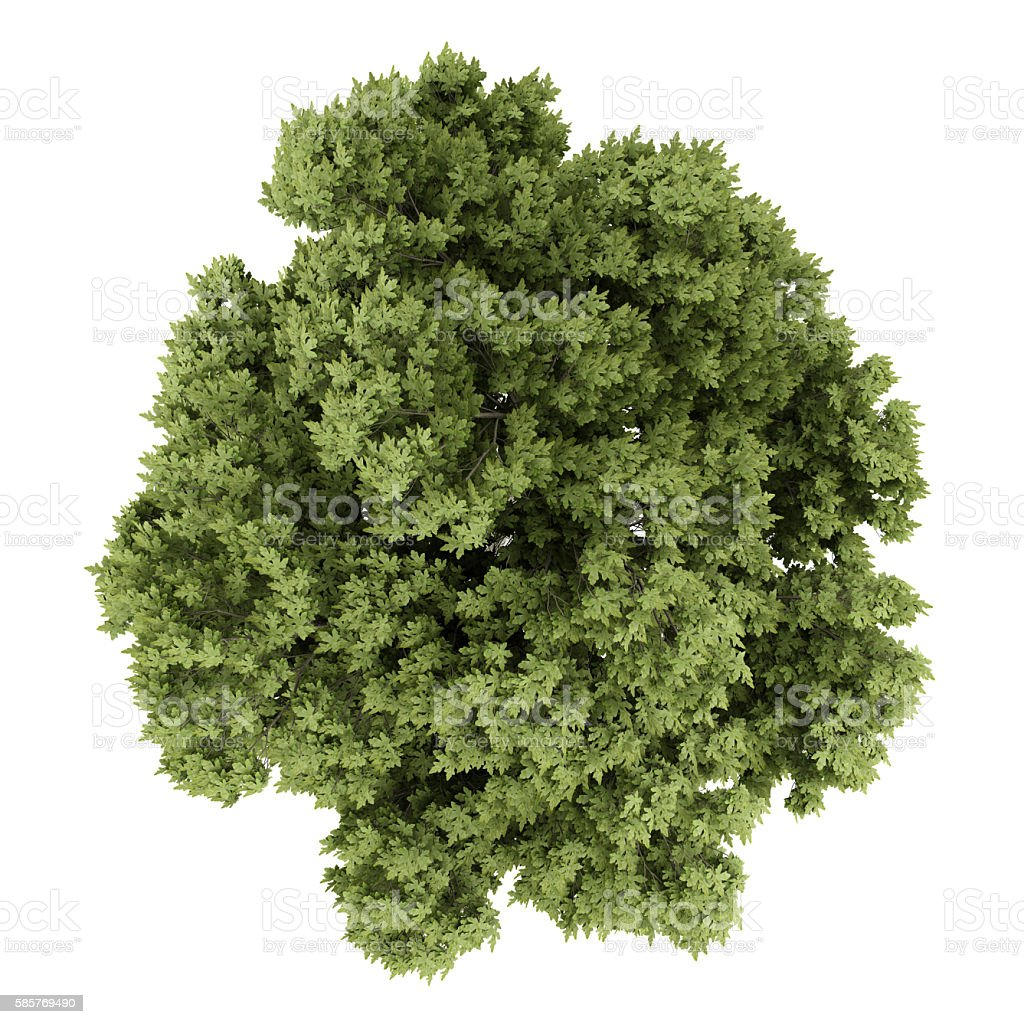 top view of austrian oak tree isolated on white background – Foto