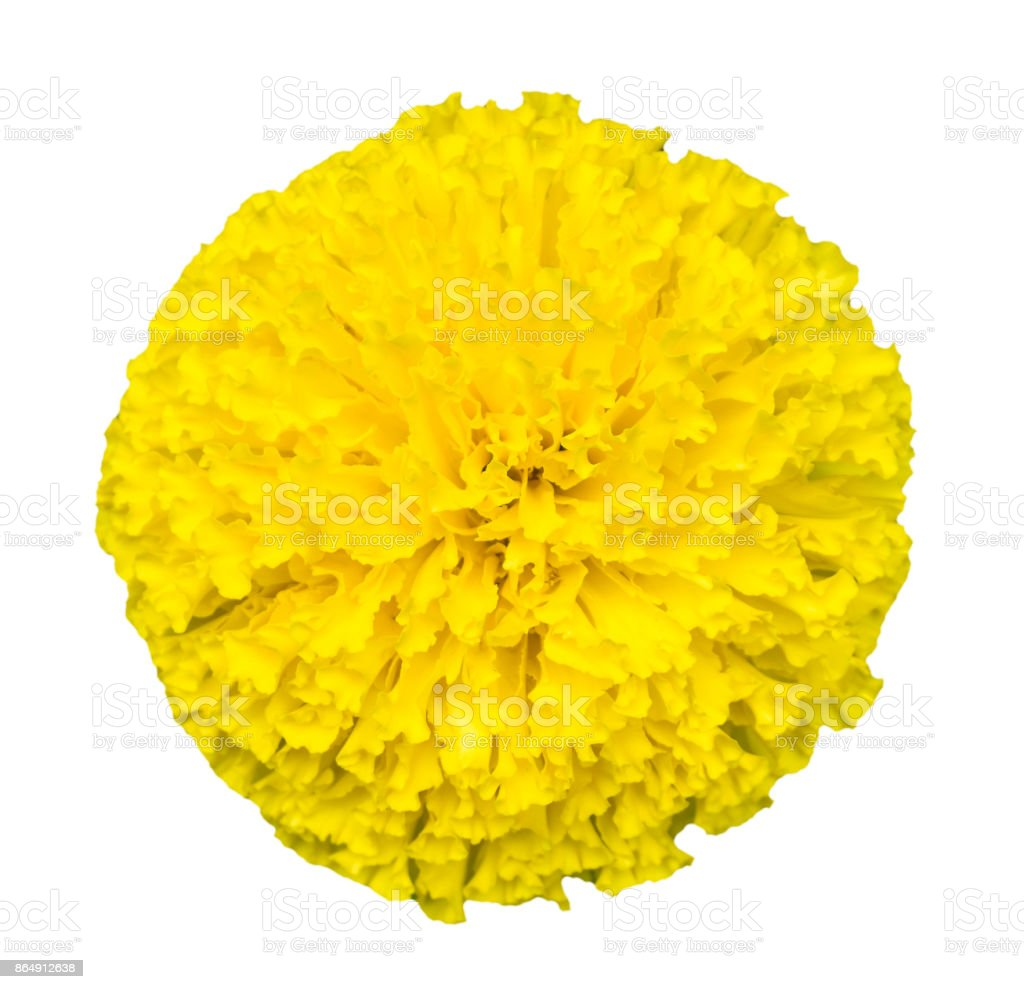 Top view of beautiful isolated marigold flowers(Tagetes erecta) stock photo