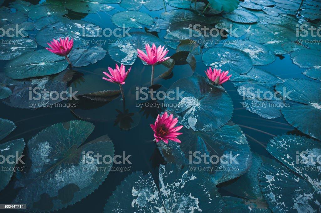 Vue de dessus de fleur de lotus rose magnifique avec des feuilles vertes en étang - Photo de Asie libre de droits