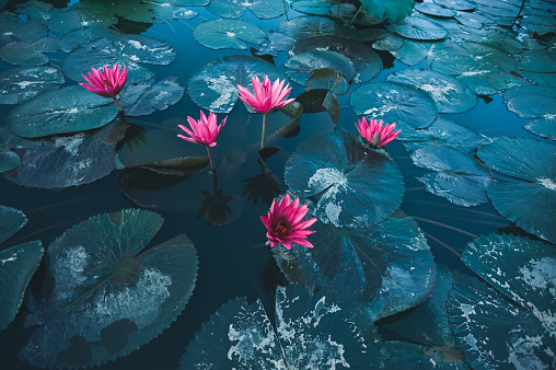 아름 다운 분홍색 연꽃 연못에 녹색 잎의 상위 뷰 0명에 대한 스톡 사진 및 기타 이미지