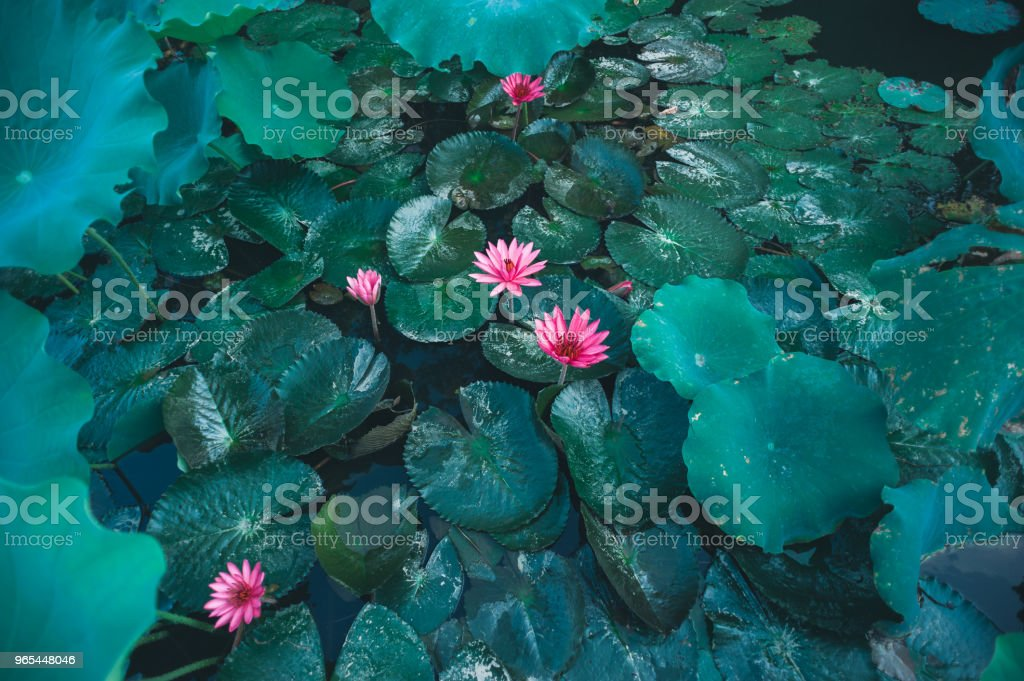 Top view of beautiful pink lotus flower with green leaves in pond zbiór zdjęć royalty-free