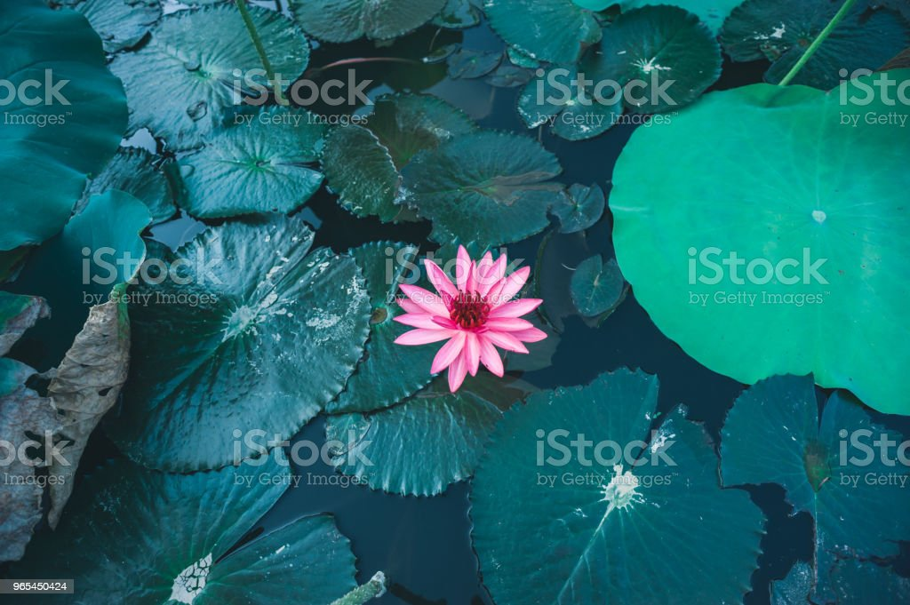 Top view of beautiful pink lotus flower with green leaves in pond royalty-free stock photo