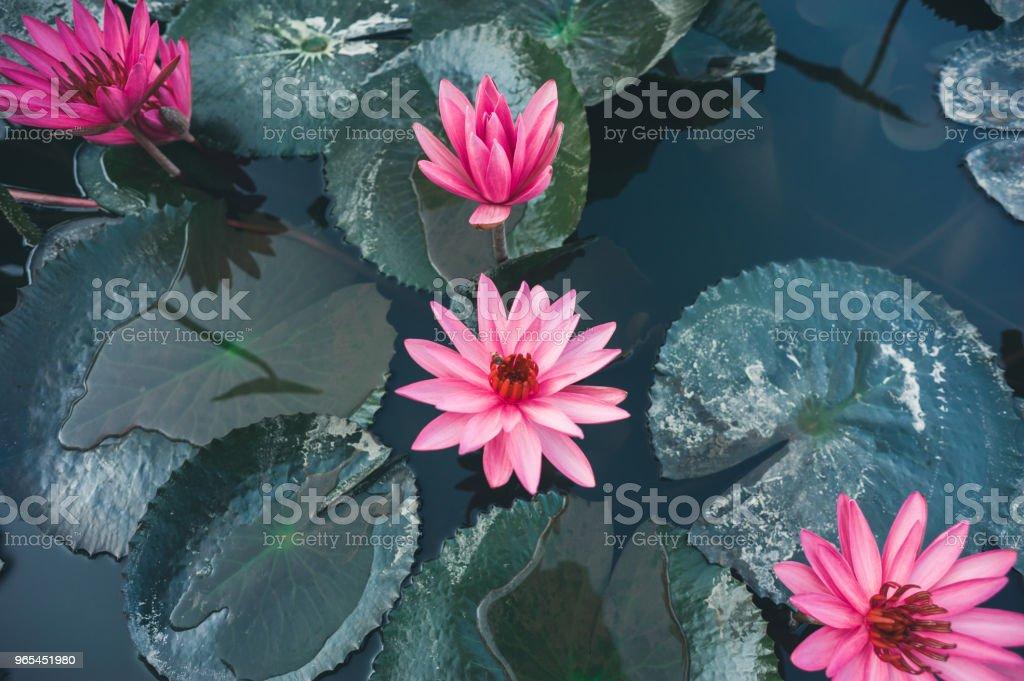 아름 다운 분홍색 연꽃 연못에 녹색 잎의 상위 뷰 - 로열티 프리 0명 스톡 사진