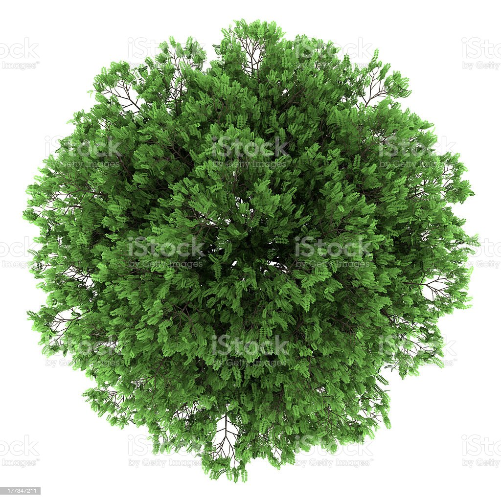 top view of black locust tree isolated on white background stock photo