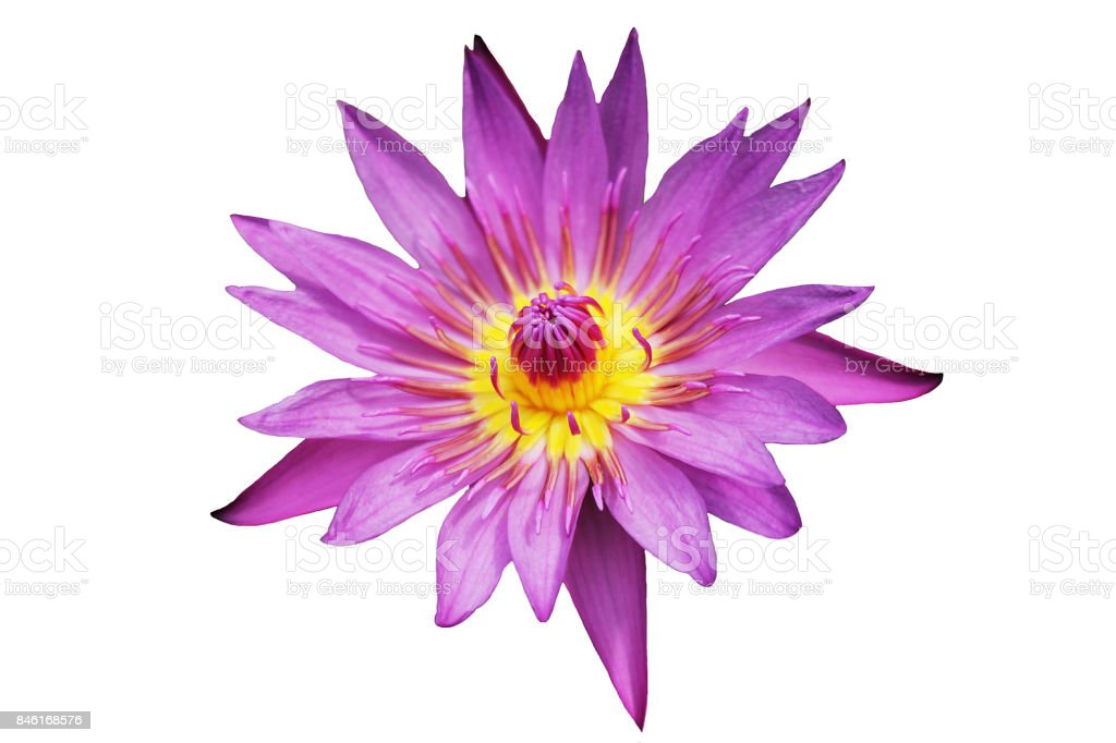Top view of blooming beautiful pink lotus flower isolated on white background stock photo