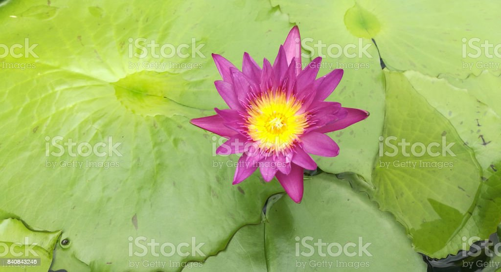 Top view of  blooming beautiful pink lotus stock photo