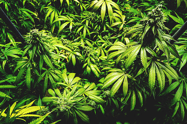 Top View of Budding Pot Plants Staked Up stock photo