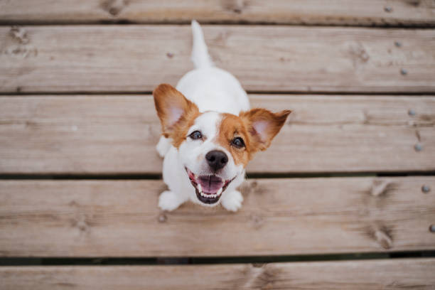 top view of cute small jack russell terrier dog sitting on a wood bridge outdoors and looking at the camera. Pets outdoors and lifestyle stock photo