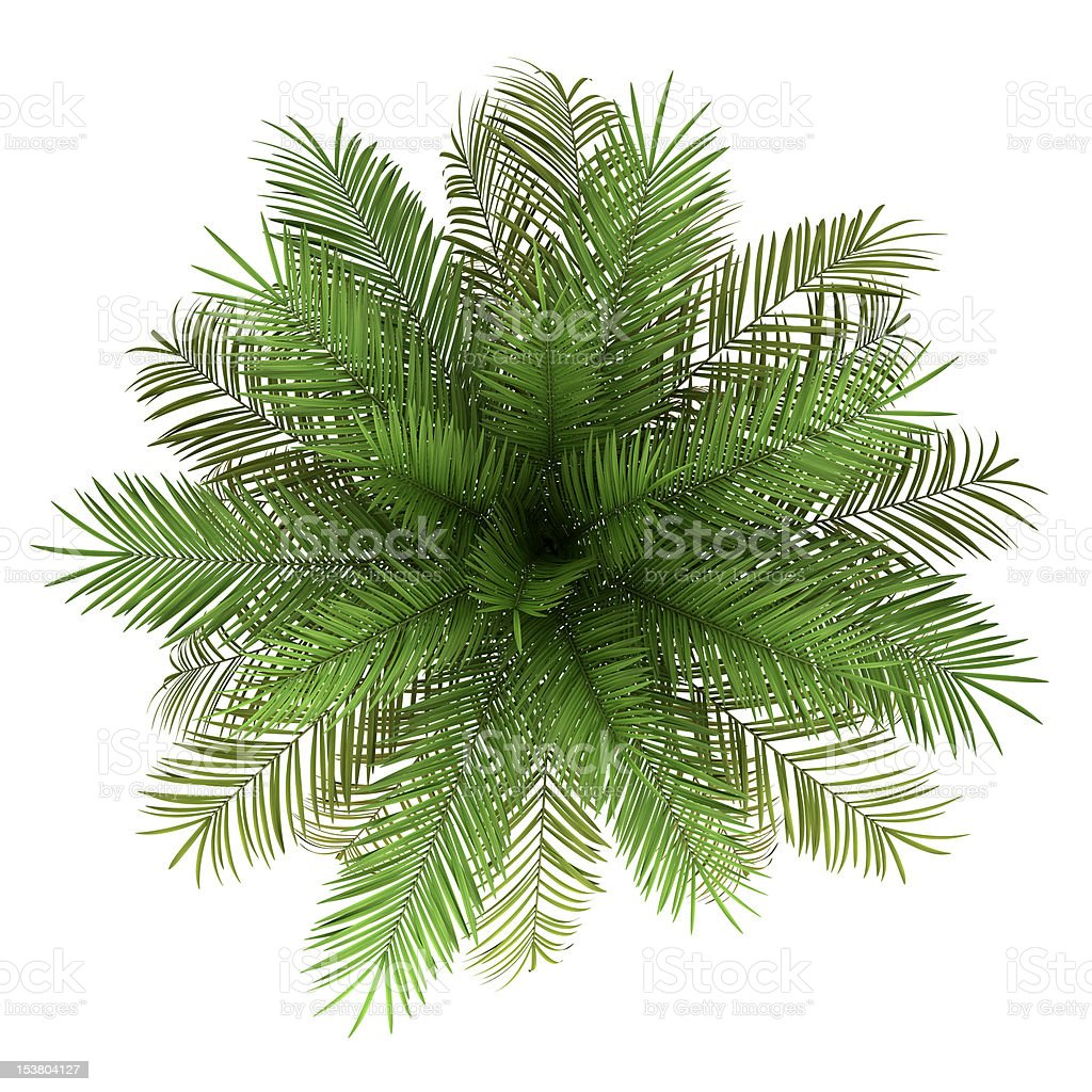 top view of date palm tree isolated on white background stock photo