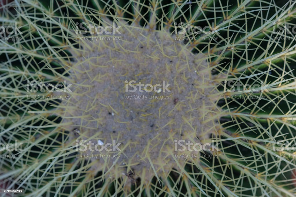 vista superior de la macro de cactus echinocactus grusonii - foto de stock