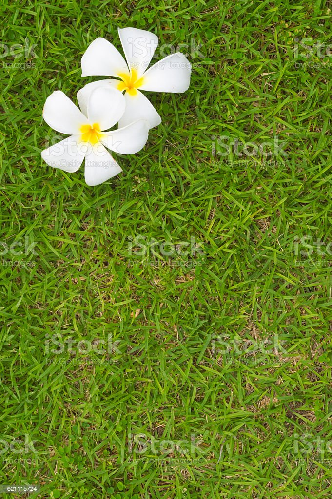 Top view of Frangipani flower stock photo