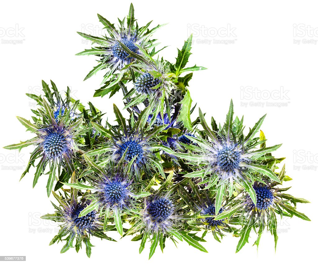 top view of fresh blue Thistle blossoms (eryngium) stock photo
