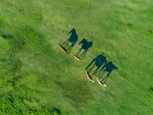 top view of grazing horses in field - comportamento animal imagens e fotografias de stock