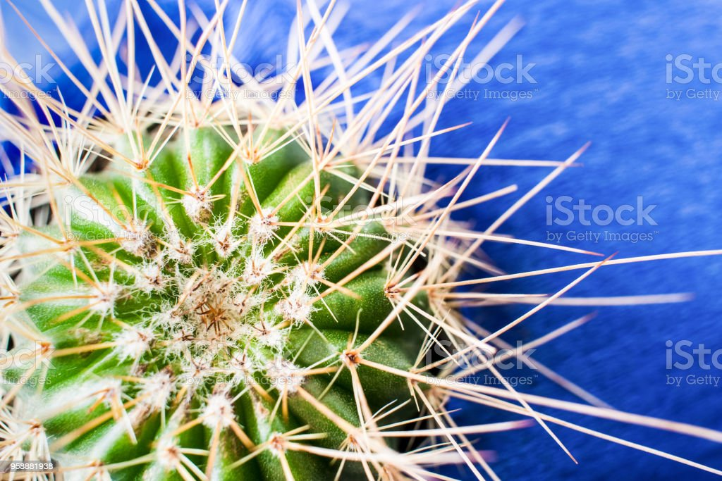 Top view of green cactus with long thorns on bright textured blue background. stock photo