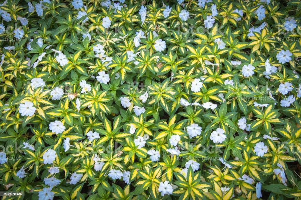 Top view of green grass with small white flowers background texture top view of green grass with small white flowers background texture royalty free stock mightylinksfo