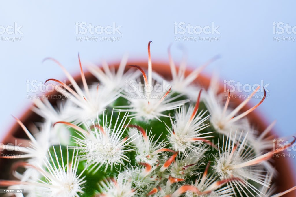 Top view of half part of round flower pot with Echinocereus cactus with white thorns. stock photo