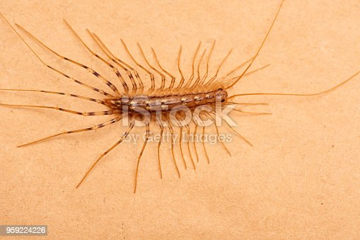 House Centipede on orange paper sheet, top view flat lay