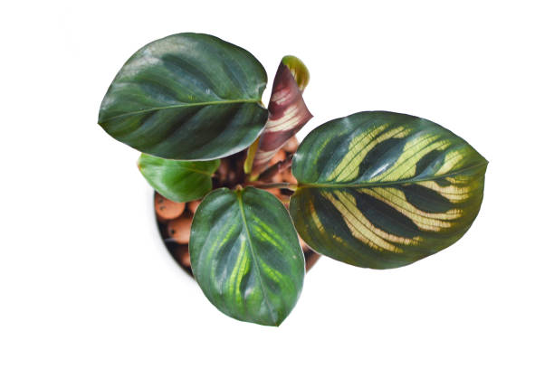 Top view of isolated exotic tropical calathea makoyana prayer plant picture id1133959905?b=1&k=6&m=1133959905&s=612x612&w=0&h=xqbp5haymqmksez6f4bsr9v6onqd9fdgkokpphxboe8=