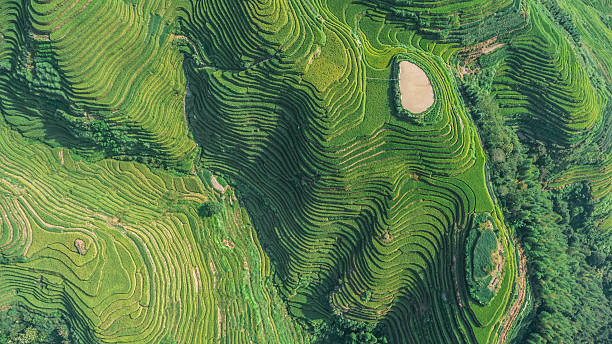 Top View of Longji Rice Terrace Top view or aerial shot of fresh green and yellow rice fields.Longsheng or Longji Rice Terrace in Ping An Village, Longsheng County, China. rice paddy stock pictures, royalty-free photos & images