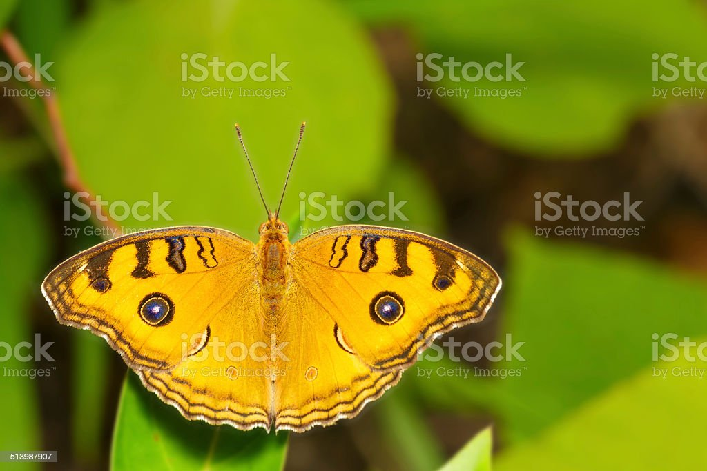 Top view of pansy peacock butterfly stock photo