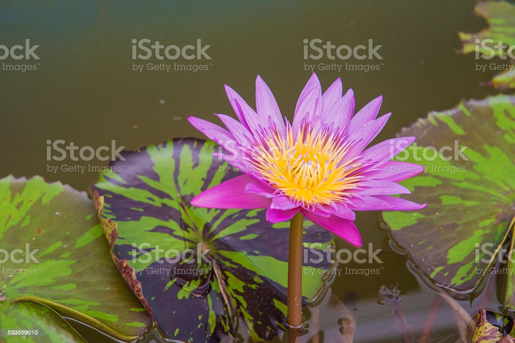 Top View of Pink Lotus Flower in Water Pond stock photo
