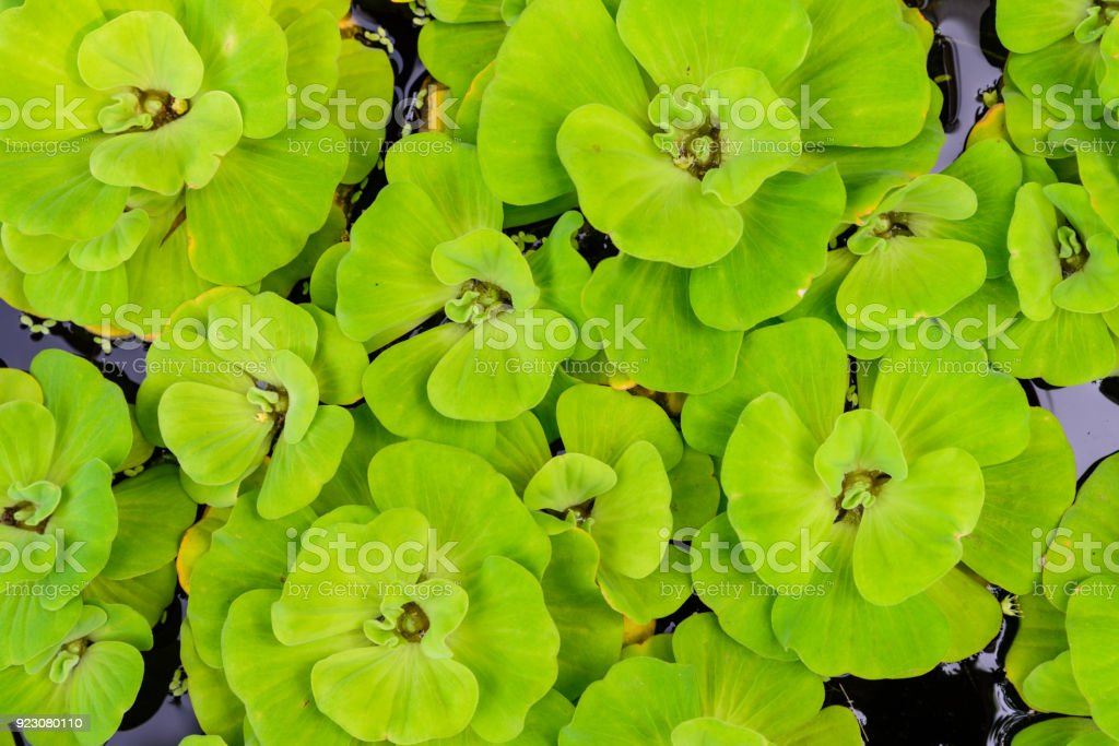 Top view of Pistia stratiotes. Pistia is a genus of aquatic plant in the arum family stock photo
