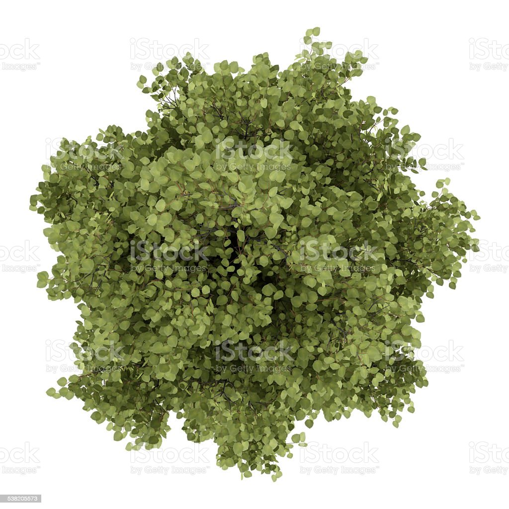 Top View Of Poplar Tree Isolated On White Background Stock