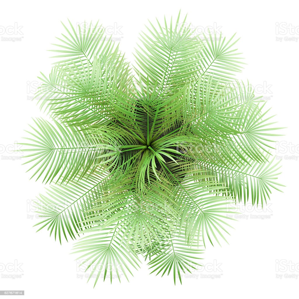 Top View Of Potted Palm Tree Isolated On White Background Stock ...